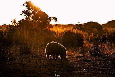 Wombat shadow.jpg