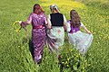 Women in Kurdi clothes ILAM-Iran 01.jpg