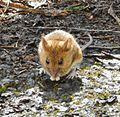 Woodmouse Gunnersbury Triangle.JPG
