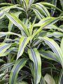 Xanthosoma lindeni (edit).jpg
