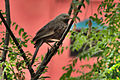 Yellow-billed Babbler (Turdoides affinis) from Chennai 02.jpg