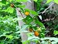 Yellow-salmonberries.jpg