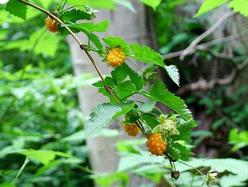 Yellow-salmonberries