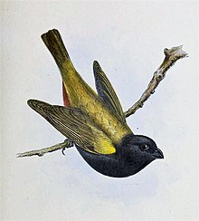 Yellow-shouldered Grassquit (Loxipasser anoxanthus) Illustrations of the birds of Jamaica (1849).jpg