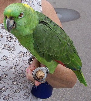 Morris is a twenty-year-old Yellow-naped Amazo...