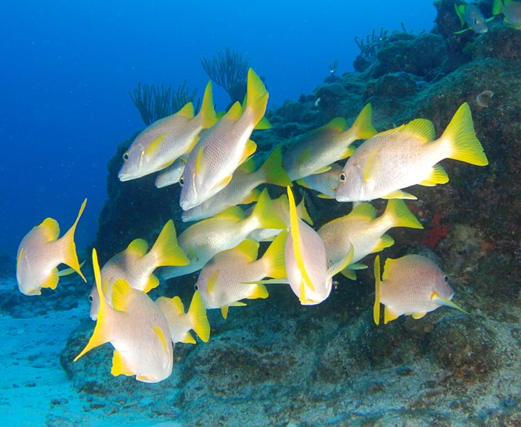 File:Yellow tail snapper.JPG