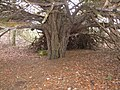 Yew tree, at Tarbat House - geograph.org.uk - 653226.jpg