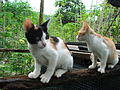 Young Calico cat and Two-tone cat dscf1675.jpg