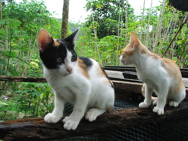 https://upload.wikimedia.org/wikipedia/commons/thumb/f/f4/Young_Calico_cat_and_Two-tone_cat_dscf1675.jpg/640px-Young_Calico_cat_and_Two-tone_cat_dscf1675.jpg