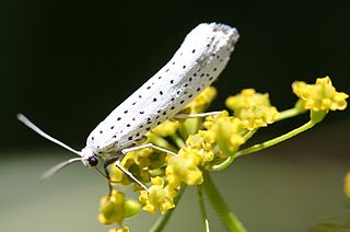 Bird-cherry ermine Species of moth