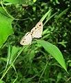Ypthima huebneri – Common Four-ring mating 32.jpg