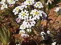 Zaluzianskya affinis-PICT2782.jpg