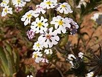 Zaluzianskya affinis-PICT2782