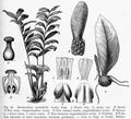 Zamioculcas zamiifolia DPR.png