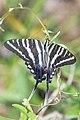 Zebra Swallowtail (Eurytides marcellus) (34841912941).jpg