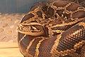 Zhengzhou Zoo Python.jpg