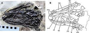 Zhenyuanlong - Detail of the skull