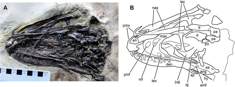 https://upload.wikimedia.org/wikipedia/commons/thumb/f/f4/Zhenyuanlong_skull.jpg/800px-Zhenyuanlong_skull.jpg
