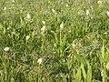 Zigadenus venenosus (5242282492).jpg