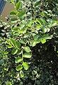 Ziziphus mauritiana 03.JPG