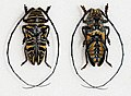 Zographus hieroglyphicus (15918655371).jpg