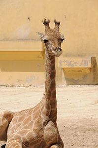 Zoo Lisboa . Girafa 2.JPG