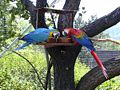 Zoo UL, Blue and Gold Macaw and Scarlet Macaw.jpg