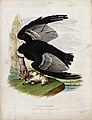 Zoological Society of London; a condor attacking a lamb on a Wellcome V0023118.jpg