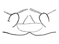 Zygoballus optatus epigyne drawing by Chickering.png