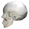 Zygomatic process of maxilla - skull - lateral view.png