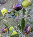 """Ravece"" olive cultivar.jpeg"