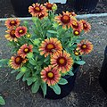 'Arizona Red Shades' Gaillardia IMG-8668.jpg
