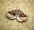 (1732) Shaded Broad-bar (Scotopteryx chenopodiata) (28579365865).jpg