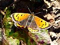 (Late )Small Copper. Lycaena phlaeas f.caeruleopunctata. - Flickr - gailhampshire.jpg