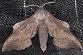 (NMWJapan) Laothoe amurensis (Staudinger) (14699710895).jpg