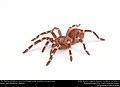 (Pet) Brazilian whiteknee tarantula (Theraphosidae, Acanthoscurria geniculata) (36668449993).jpg