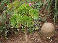 ¿ Aeonium korneliuslemsii ? (6369640747).jpg