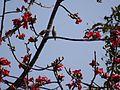 ¿ Malabar Starling (Sturnus blythii) ? (6781346376).jpg