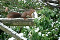 Écureuil sur une balançoire.JPG