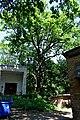 Багатовікове дерево DSC 0872.jpg
