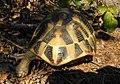 Балканская черепаха - Testudo hermanni - Hermann's tortoise - Шипоопашата костенурка - Griechische Landschildkrote (35781311490).jpg