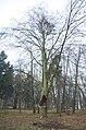 Вікові дерева в Пустомитівському.jpg