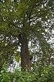 Вікові дуби в Сестринівській дачі.jpg