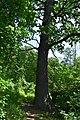 Дуби 6-го листопада DSC 0900.jpg