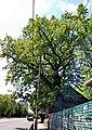 Дуб-долгожитель на Белинского.jpg