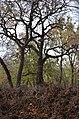 Дуб на Сетомлі у парку Нивки.jpg