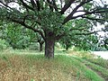 Дуб на узліссі Андріївського лісу. Лісовий заказник місцевого значення.jpg