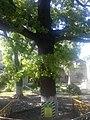 Дуб черешчатий, м. Херсон, вул. Леніна,18.jpg