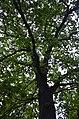 Дуб черешчатий. Вулиця Л. Українки, 29. Фото 3.jpg
