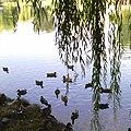 Качечки у Голосіївському парку.jpg